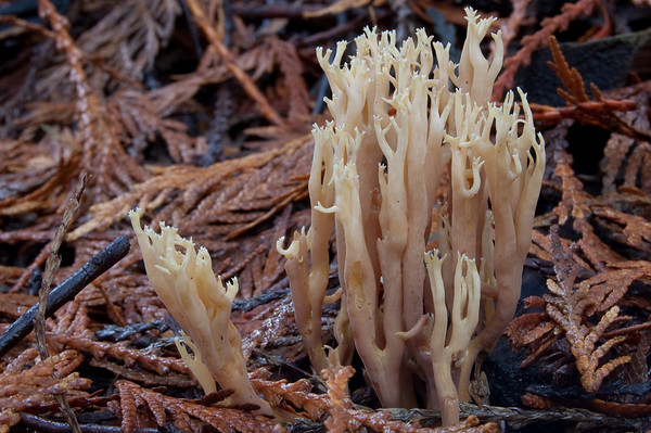 Ramaria, growing on fir debris