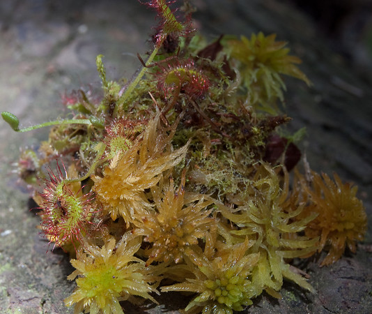 sundew from a bog