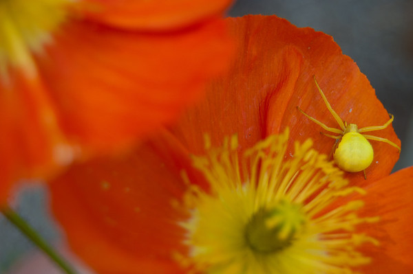 crab spider hanging out on an orange poppy