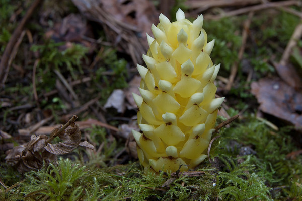 yellow pine cone