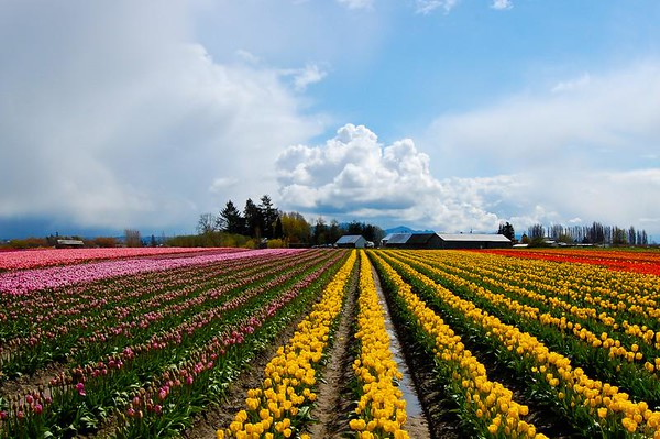 tulips and cloud