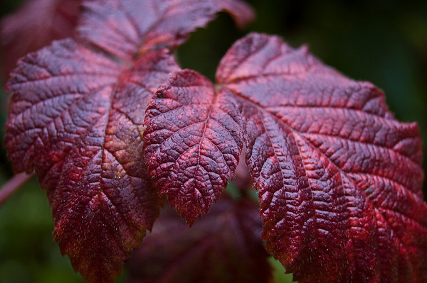 red tayberry leaves