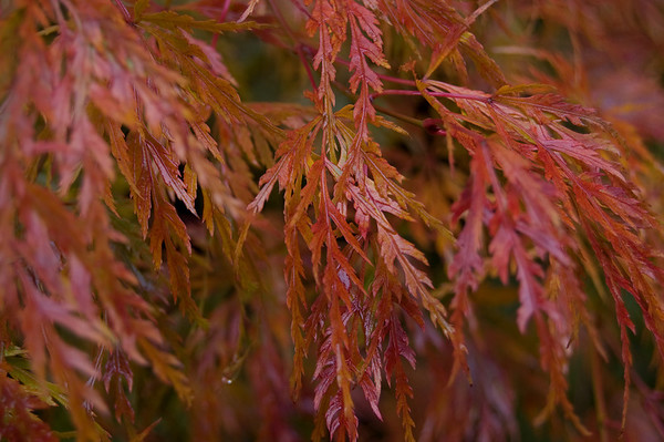 lace leaf maple