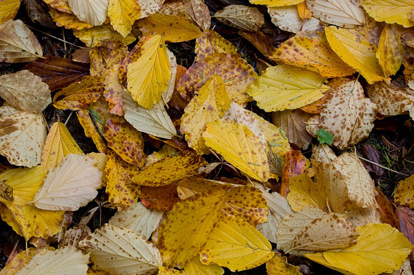 witch hazel leaves on the ground