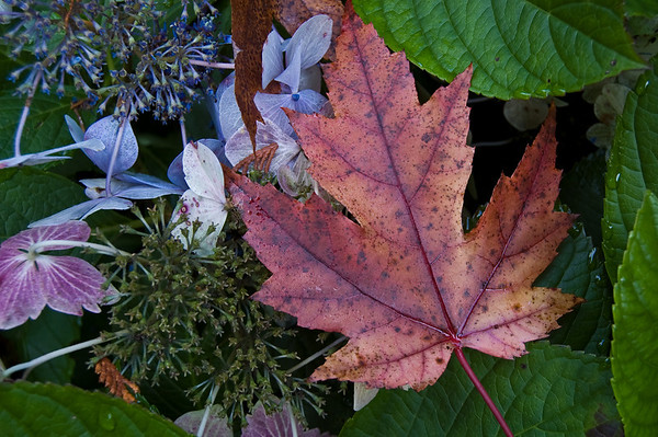 hydrangea and maple