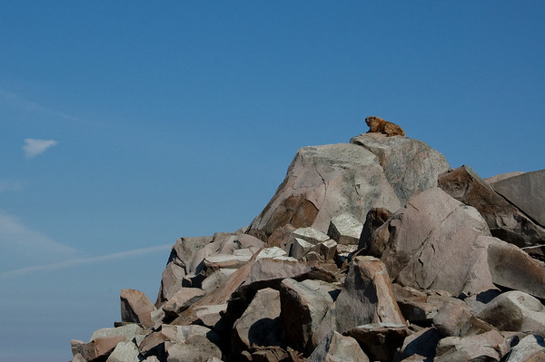 marmot watching from it's perch