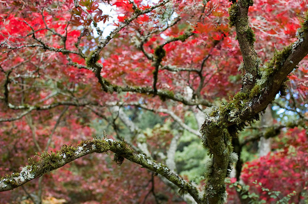 red leaves and green, moss covered branches